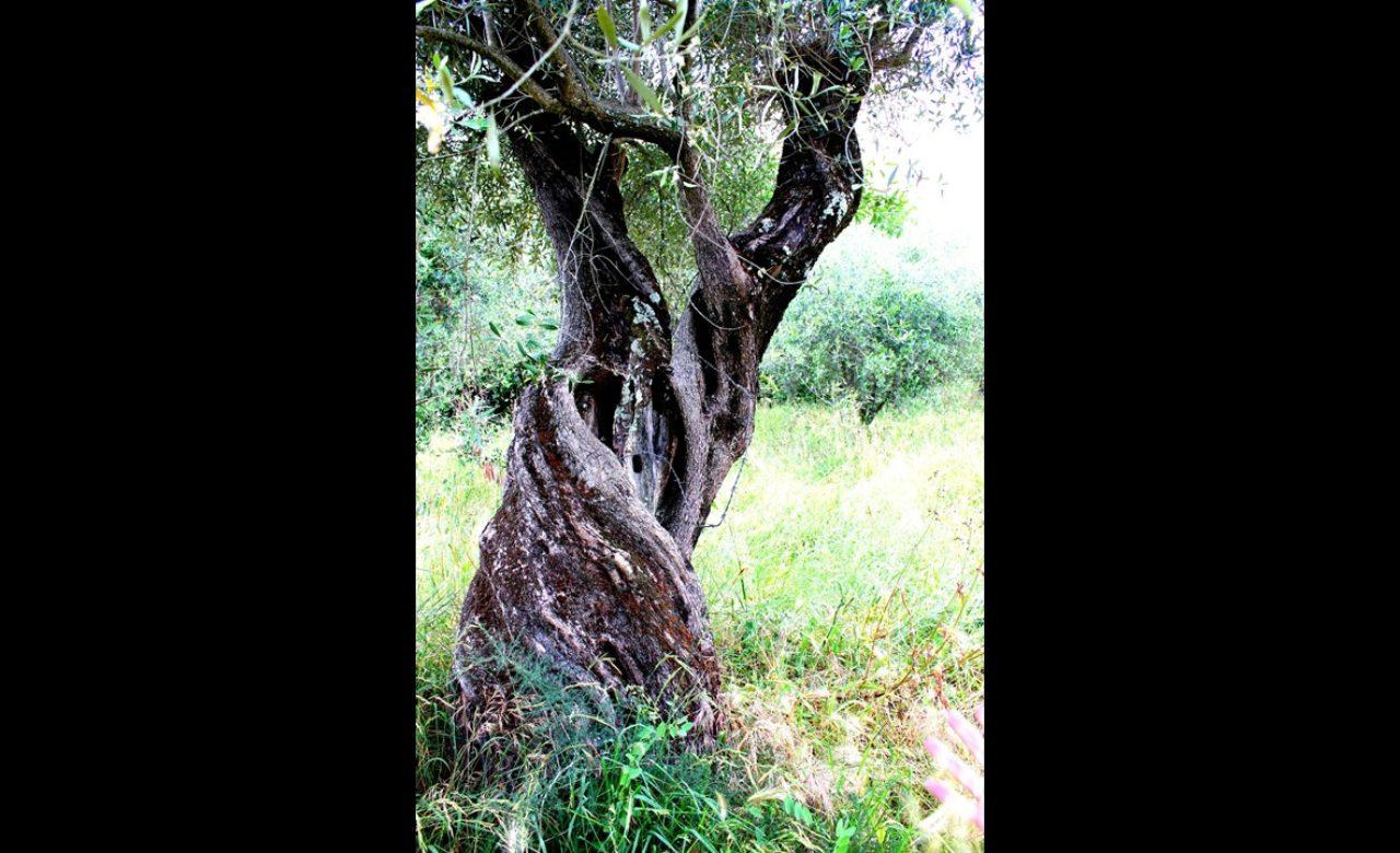 NATURA_L'albero della Vita, Caiazzo (CE)_Caterina Mattia