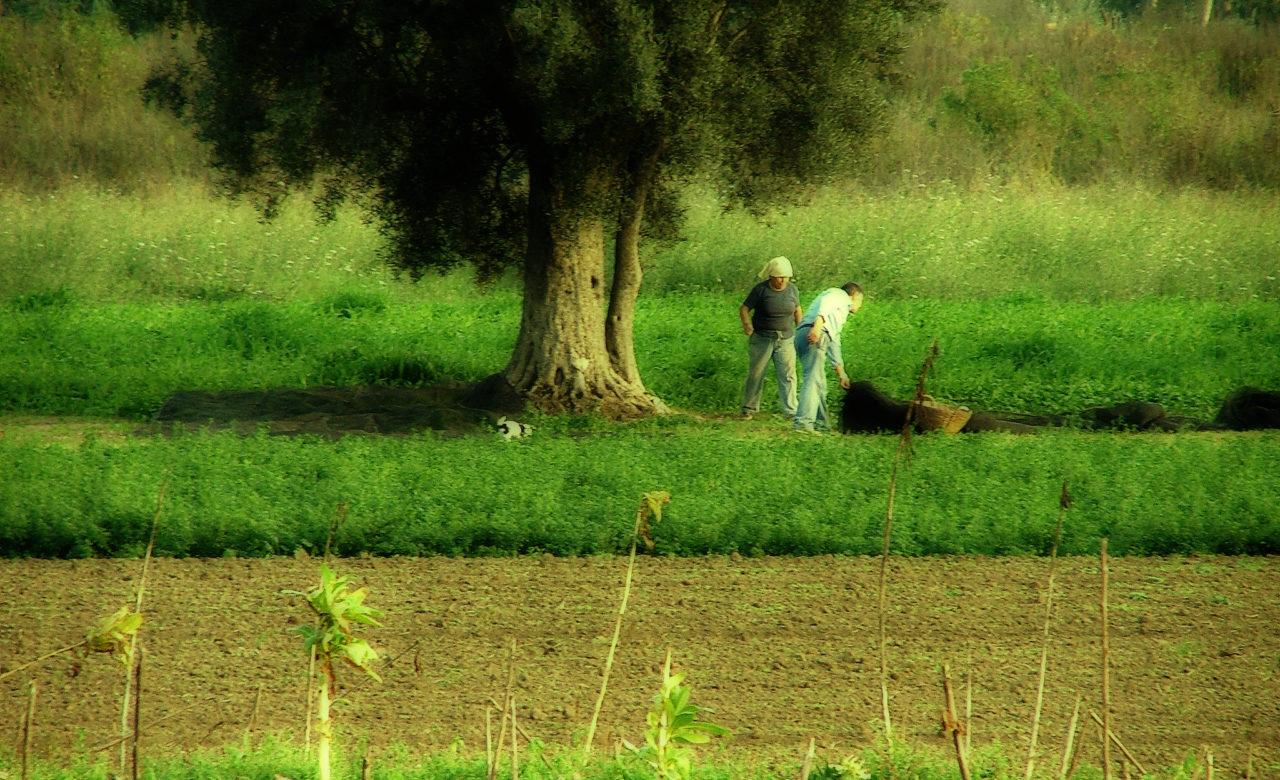 Pietro Ricciardi, Operosità, raccolta delle olive in Campania, Pastorano (CE)